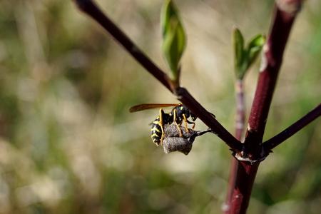 Polistes dominula and nest construction