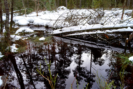 Peat bog, snow and reflection in water - Cervene Blato, South Bohemia