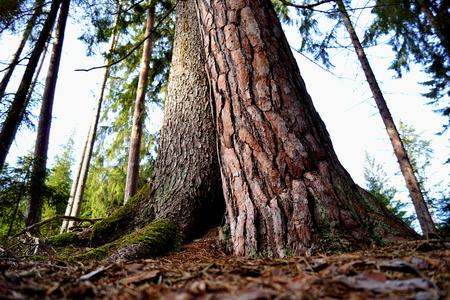 Picea and Pine, detail - Tercino udoli, Nove Hrady, South Bohemia