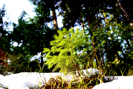 Small Picea and light, winter - Tercino udoli, New Castles, South Bohemia Фото со стока