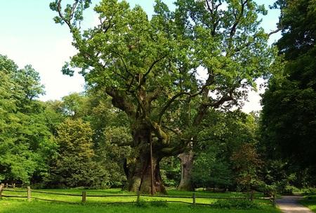 LECH around seven hundred years old oak tree. Rogalin village park. Poland