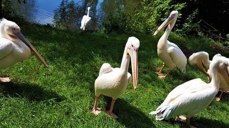 A flock of pink pelicans at the lake in poland. Stock Photo