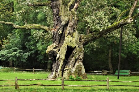 Rus - around seven hundred years old oak tree. Protected nature. Looks a bit crazy, funny or happy. Left fresh dark side of the trunk was damaged by lightning and fire a lot of times, but still alive. Stock Photo