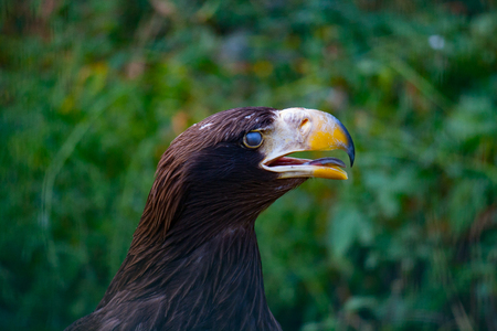 blinking: Detail of an eagle blinking with green blured background Stock Photo