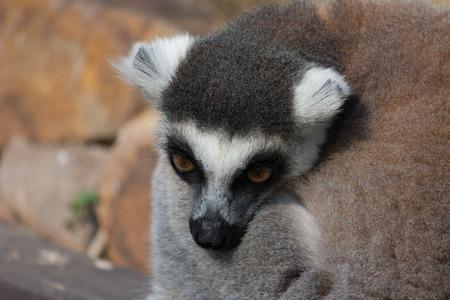 cuddled: Lemur nearly sleeping cuddled. Head detail. Very cute Stock Photo
