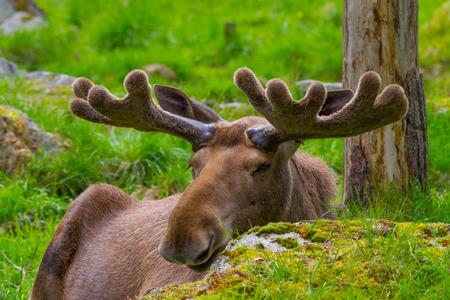 huge antlers: Male moose lying behind a rock with nice antlers Stock Photo