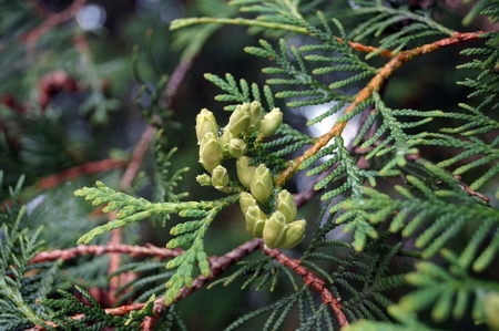 thuja occidentalis: Tree branch of thuya with green cones