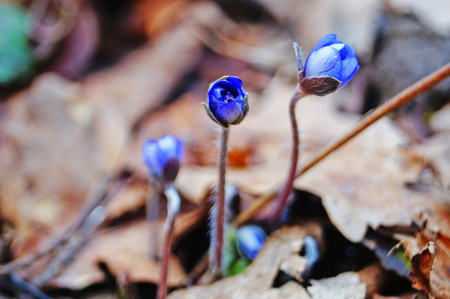 Spring flowers Hepatica with blue buds in the spring meadow