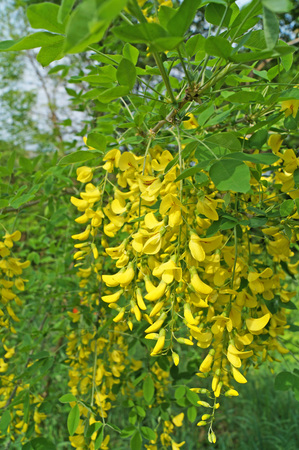 Wisteria flowers with yellow petals on a branch with green leaves Banque d'images