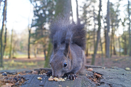 Squirrel with fluffy black fur eating nuts on hemp on a sunny spring day Imagens