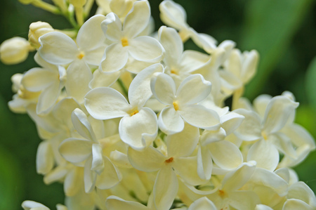 White, yellowish and greenish lilac flowers on a branch with green leaves on a spring sunny day Stok Fotoğraf