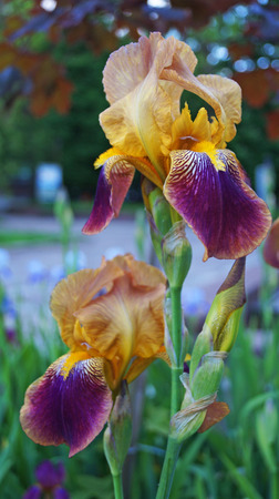 Iris flower with purple, white and yellow petals on a green stalk on a summer day