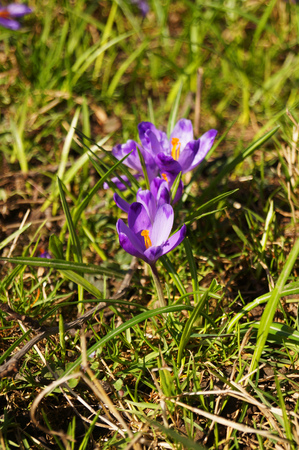 Crocus flower with delicate purple-white petals and a yellow center in a clearing with green grass Reklamní fotografie