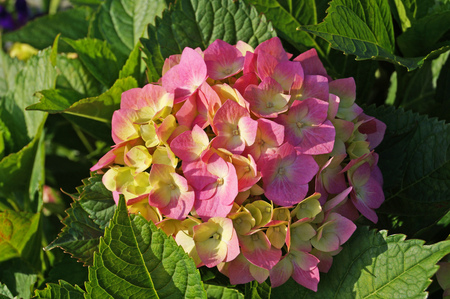Hydrangea flower with pink, white and yellow petals on a bush with green leaves