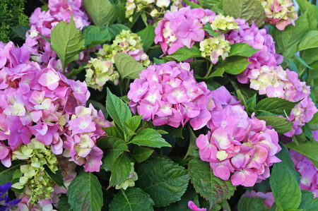 Hydrangea flower with pink, white and yellow petals on a bush with green leaves Banco de Imagens
