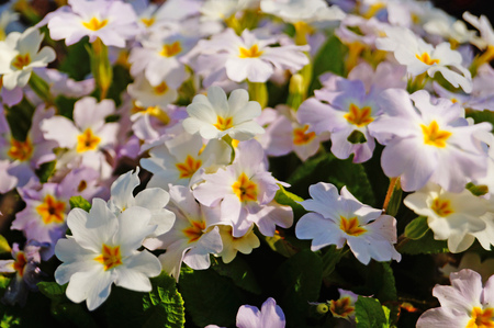 Primrose bush with flowers with white and pink petals and green leaves on a spring day
