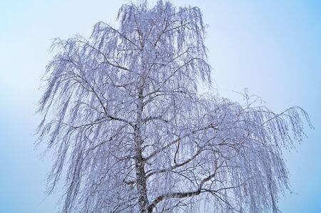 Birch with long branches covered with snow against a blue sky on a winter sunny day Standard-Bild