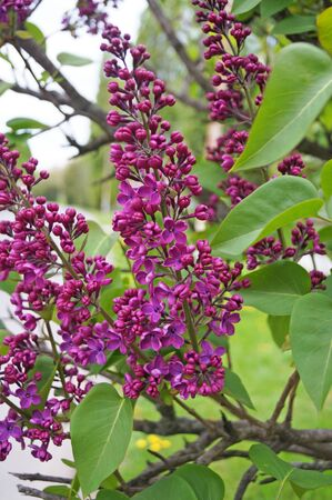 Lilac branch with beautiful flowers with lilac petals and green leaves on a sunny spring day
