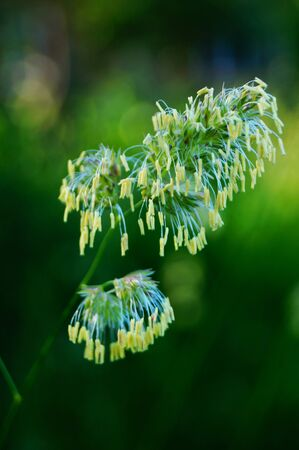 Field grass with a blossoming spikelet in a meadow on a sunny spring day Stock Photo