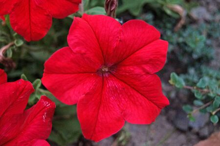 Petunia flowers with delicate red, white and purple petals on bushes with green leaves