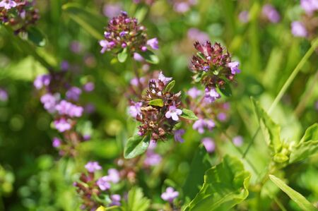 Thyme with delicate purple flowers in a clearing in the green grass on a summer day