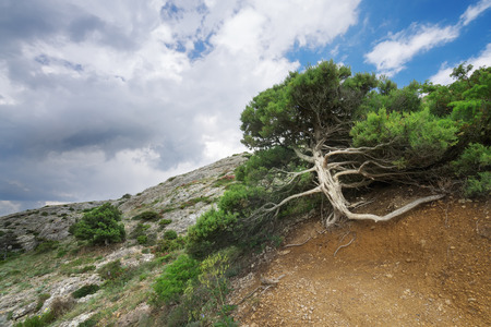 Tree growing at an altitude of Cape Alchak Stock Photo