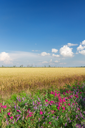 wheat field on the background cornfield Ukraine