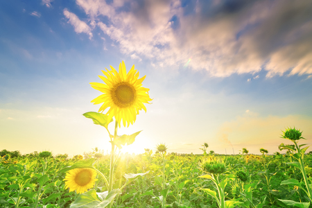 sunflower field  bright summer photo field of Ukraine