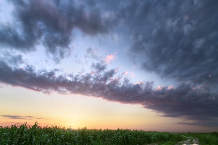 colorful sky over a cornfield  summer Ukraine before sunset
