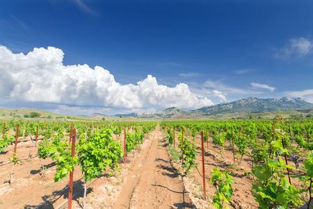 vineyards Sun Valley  Crimea bright summer picture