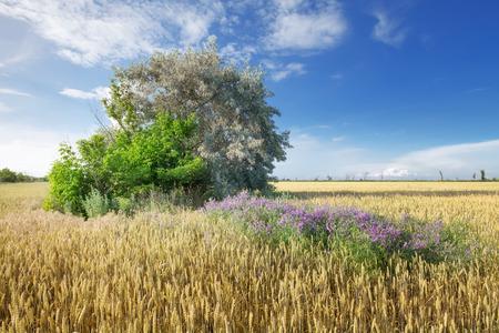 tree in a wheat field  bright flight landscape of natural beauty