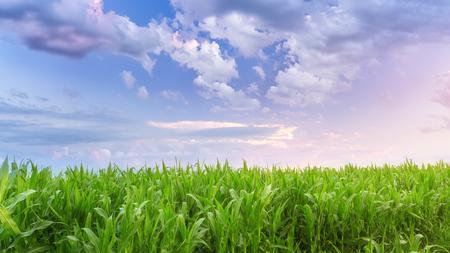 a corn field just after sunset  bright summer photo field of Ukraine