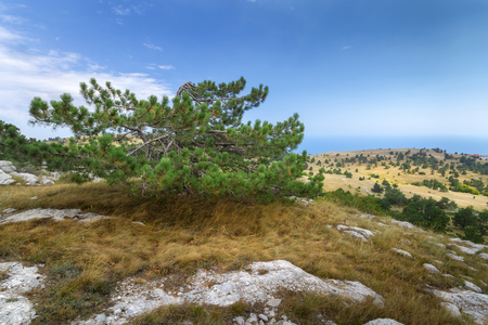 fir on the mountain AI-Petri  daylight picture summer Crimea