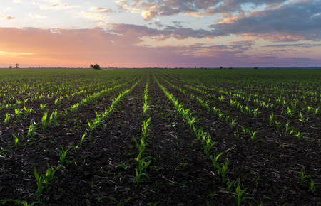 germination of corn photo  dawn on an agricultural field Stock Photo