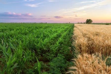 golden section: two-tone field corn wheat  bright photo field of Ukraine sunset Stock Photo