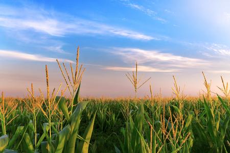 screen savers: a corn field just after sunset  bright summer photo field of Ukraine