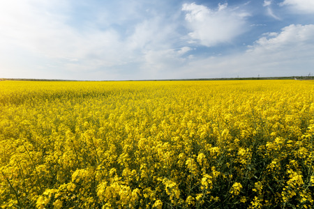 photo canola field  bright hot summer day landscape in nature Stock Photo
