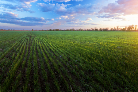 green sprouts of young wheat / agriculture rural landscape