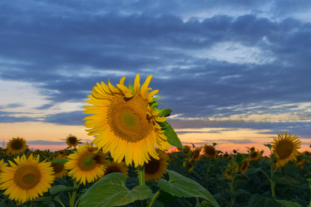 sunflower at sunset / bright sunflower on Vaughan of a beautiful sunset 免版税图像