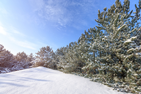 bright pre-holiday winter forest / nature forests of Ukraine winter landscape