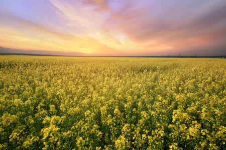 canola field rapeseed plant  sunset time photon image mid-summer