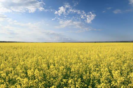 photo canola field / bright hot summer day landscape in nature