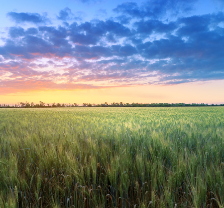 beautiful wheat field at sunset / agriculture fields of Ukraine countryside