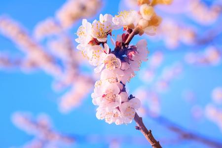 fruit tree flowers spring  spring flowering fruit trees