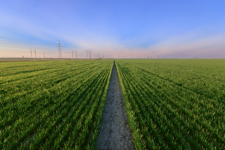 green young wheat field / bright Sunny day agriculture
