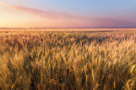 the scorching summer sun / wheat field not long before sunset