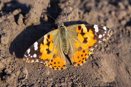 butterfly sitting on the ground  bright moth small rest before flying