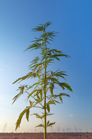 cannabis stretches into the sky / cannabis growing in the open air