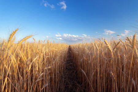das Weizenfeld die Farben der Farben / die Natur des Frühsommers kurz vor Sonnenuntergang