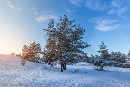 bright pre-holiday winter forest  nature forests of Ukraine winter landscape